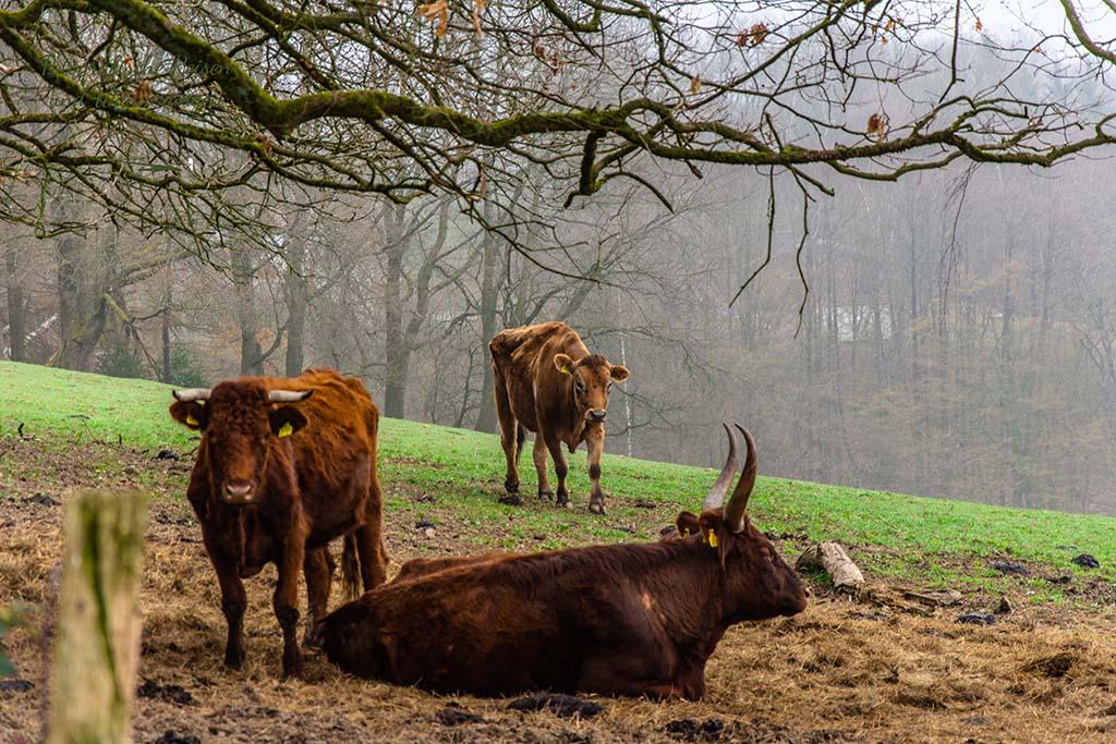Rindermix bei Berkenroth - Der Bergische Panoramasteig