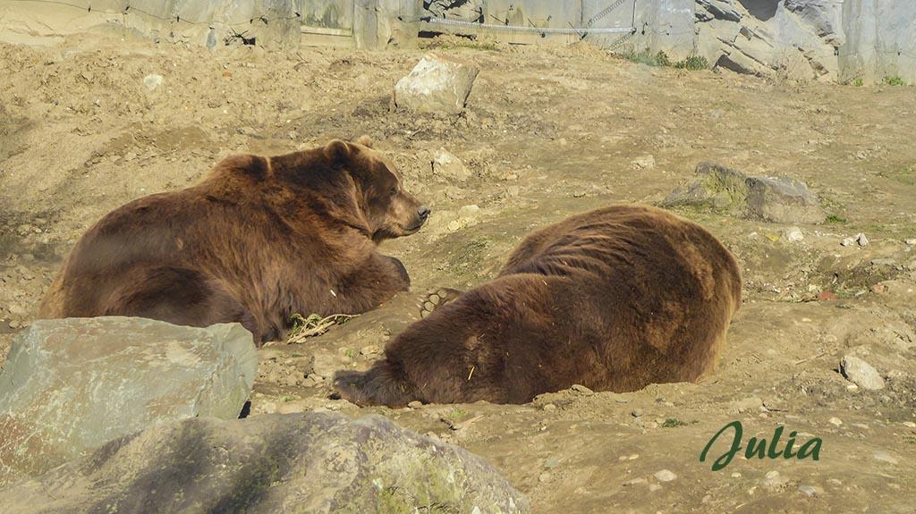 Braunbären im Schlafmodus