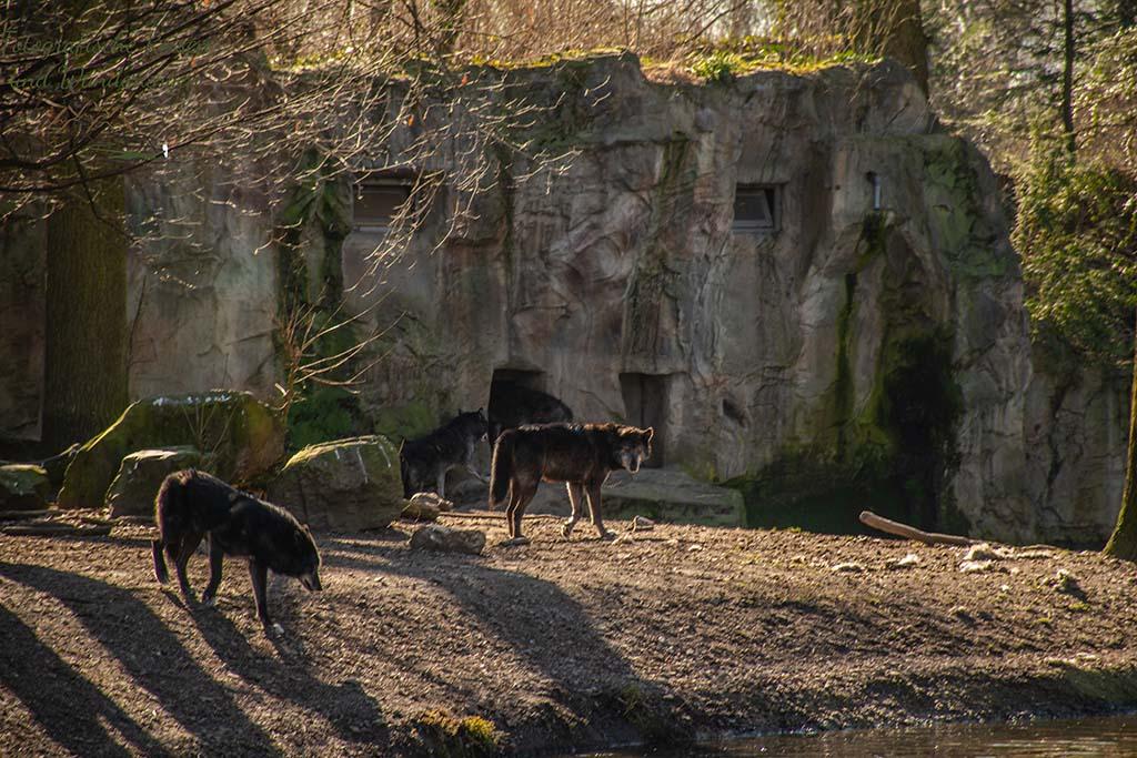 Wölfe im Zoom Gelsenkirchen