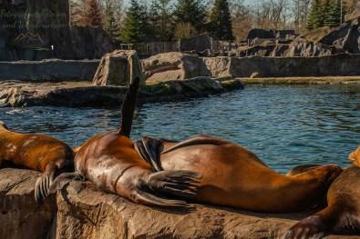 Seelöwe fächelt sich mit Flosse Kühlung