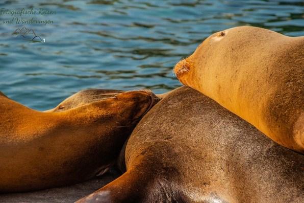 Gestapelte Seelöwen