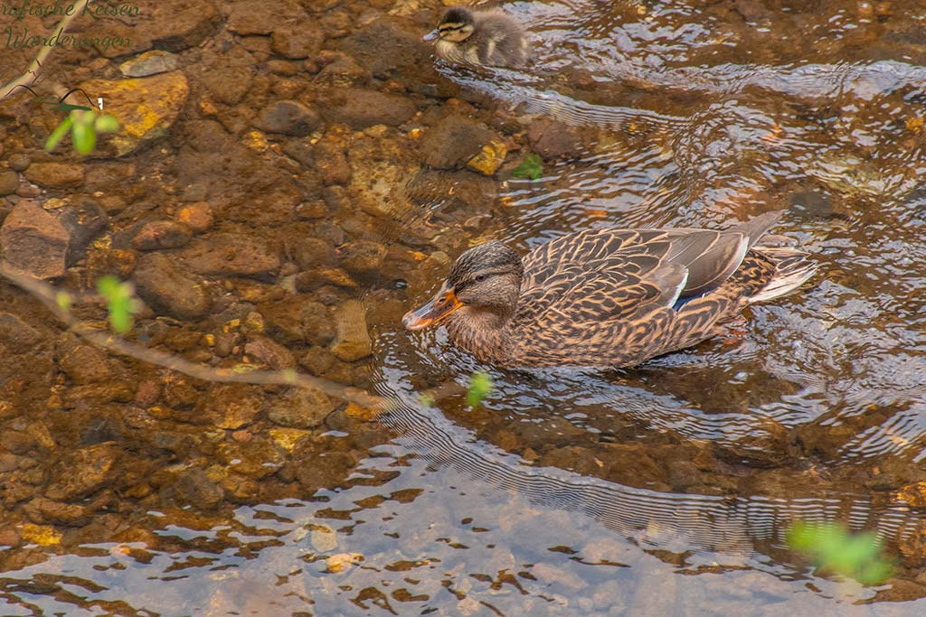 Entenkind und Mama Ente - Eifelsteig Etappe 1