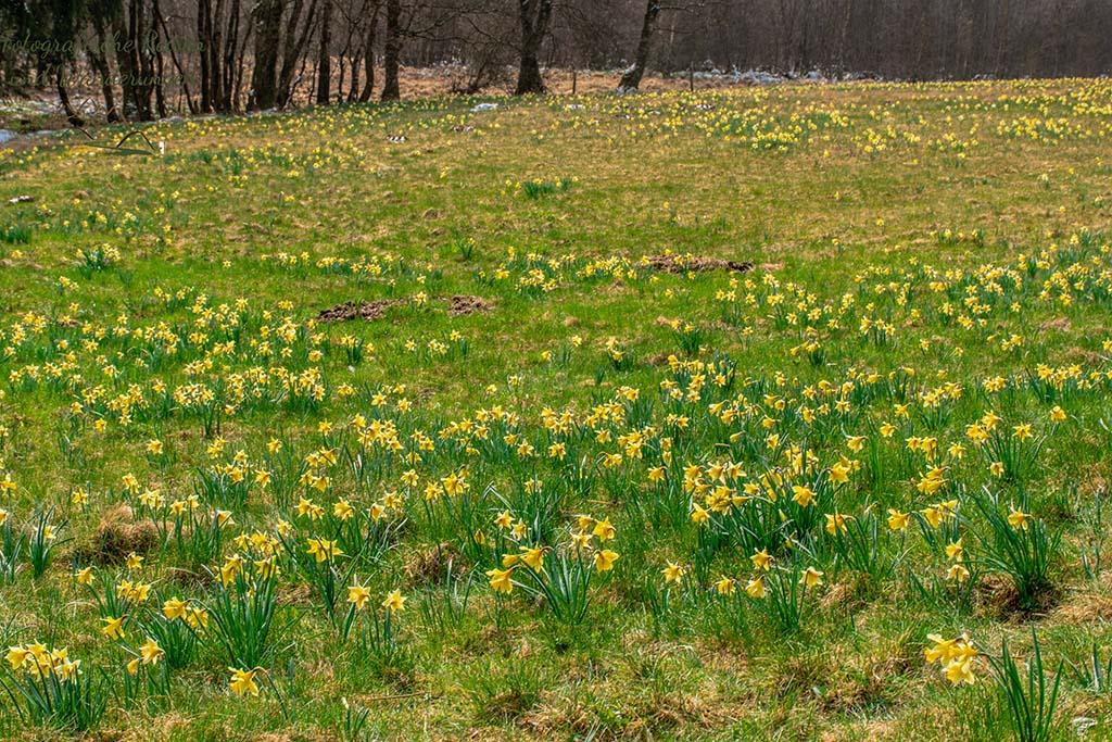 Riesige Teppiche von Wilden Narzissen - Auf der Suche nach den Wilden Narzissen