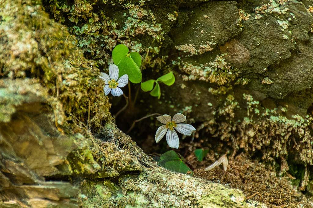 Wald-Sauerklee besetzt auch kleinste Ecken