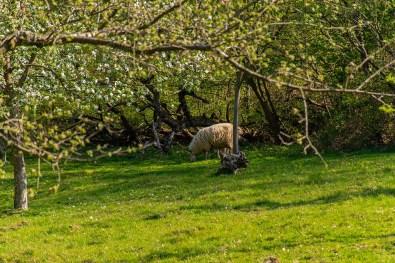 Schafe unter Obstbäumen - Wildwiesenweg