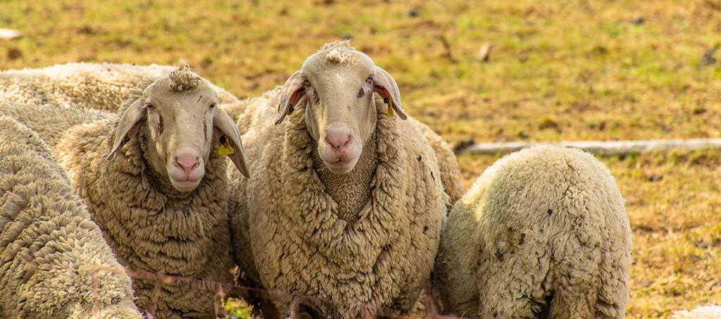Zwei Schafe von vorn eins von hinten