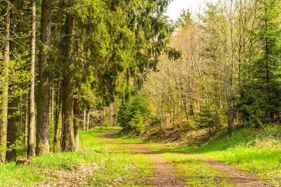 Nadelbäume geben Farbe - Eifelsteig zwischen Gemünd und Kloster Steinfeld