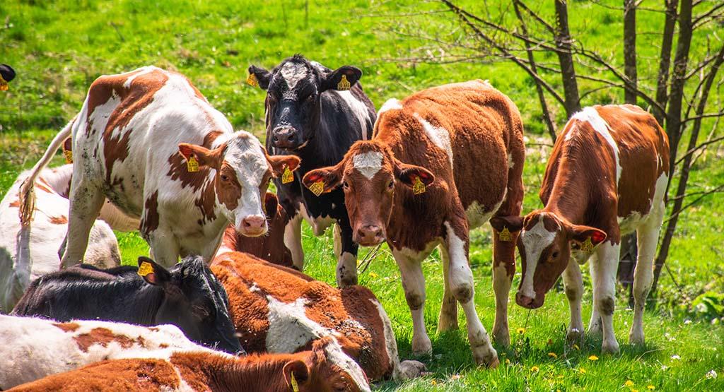 Neugierige Kühe auf dem Eifelsteig zwischen Monschau und Einruhr