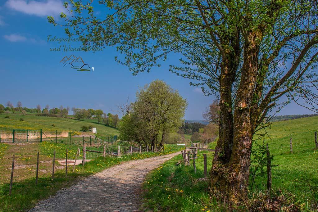 Ein Feldweg zwischen Weiden und Wiesen auf dem Eifelsteig zwischen Monschau und Einruhr