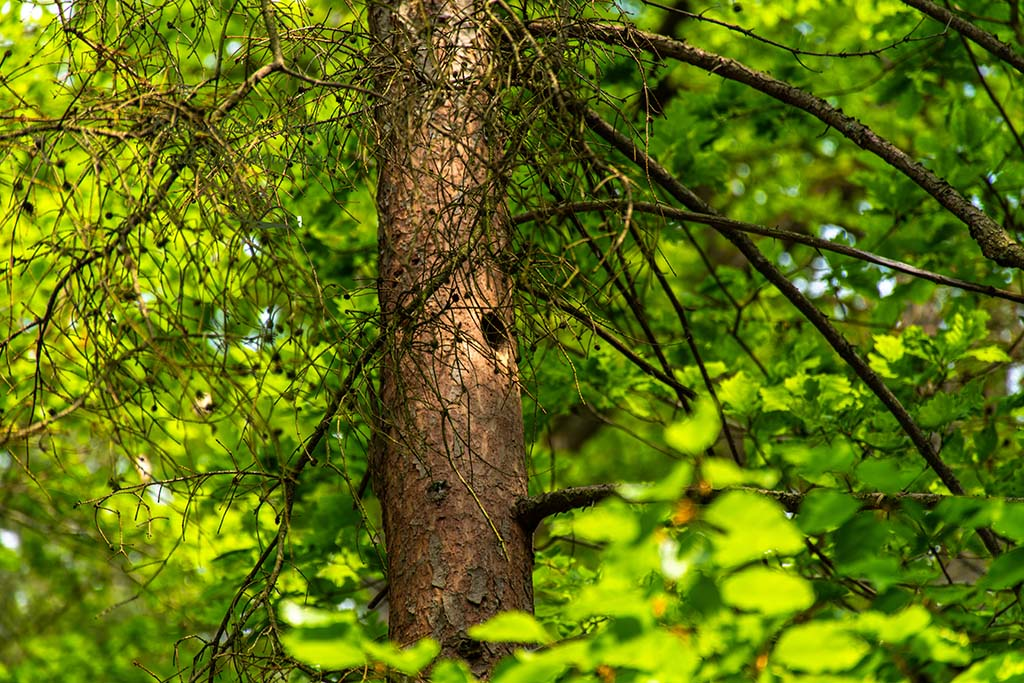 Aufgeregtes Futterbetteln ertönt aus der Spechthöhle - Abenteuer Wanderung im Sahrbachtal