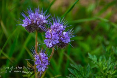 Unbekannte Blume - Rund um den Hochsimmer