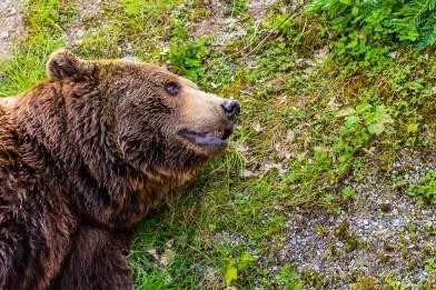 Altbär im Wild- und Freizeitpark Westerwald