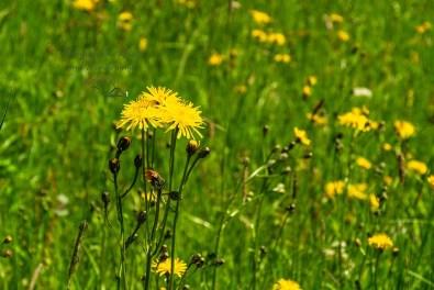 Bunte Blumen auf den Sommerwiesen