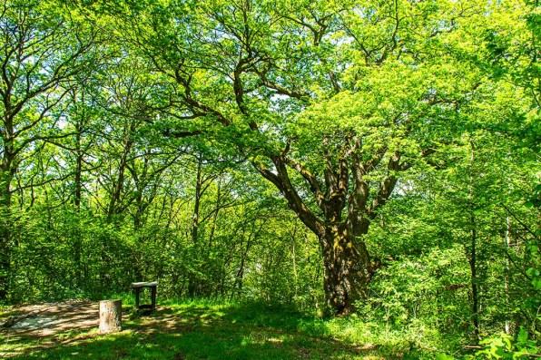 Naturdenkmal Alte Eiche