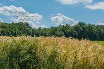 Getreidefelder vom Winde verweht