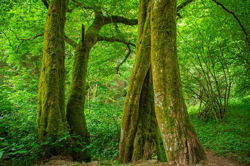 Bäume mit einem Mantel aus Moos