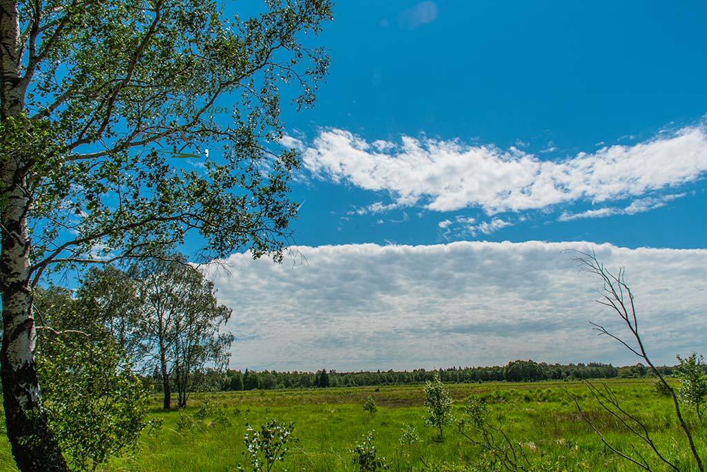 Die Birke in der Heide und im Moor