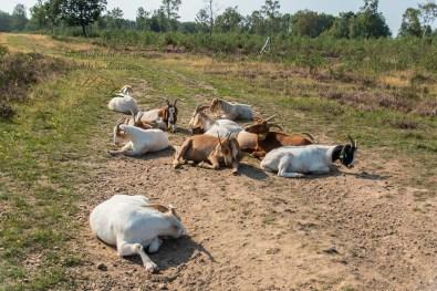 Ziegen in der Heide