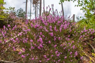 Heideflächen im Naturpark Bergisches Land-Wandern