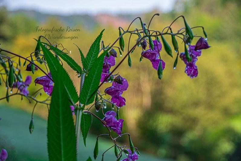 Drüsiges Springkraut - Naafbachtal wandern