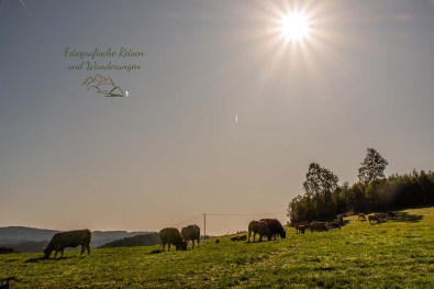 Wandern im Sauerland-Rinder auf der Weide, gegen die Sonne