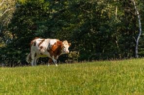 Junger Bulle auf Weide
