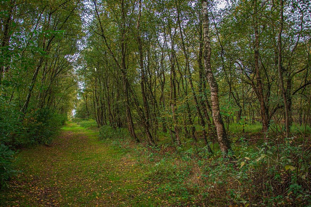 Birken auf dem Dausenmoorpad