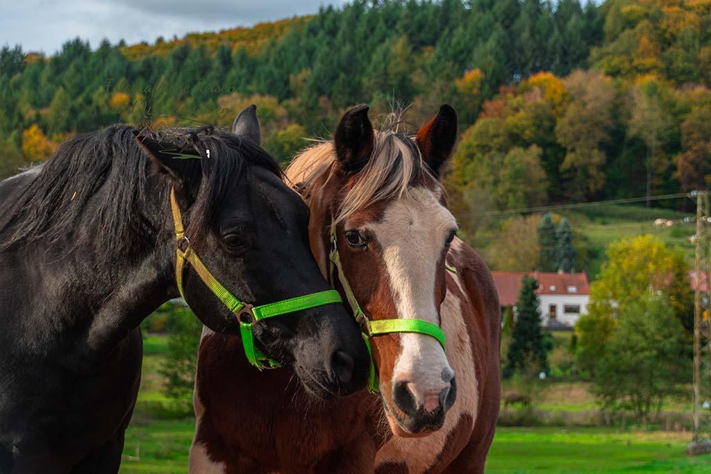 Schmusende Pferde