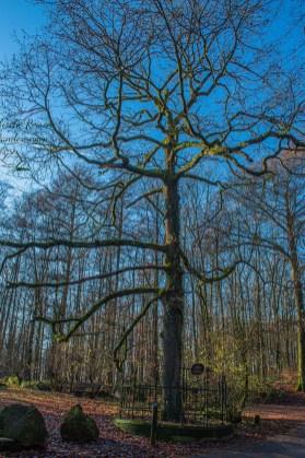 Uralter Baum im Burgholz - Kaisereiche