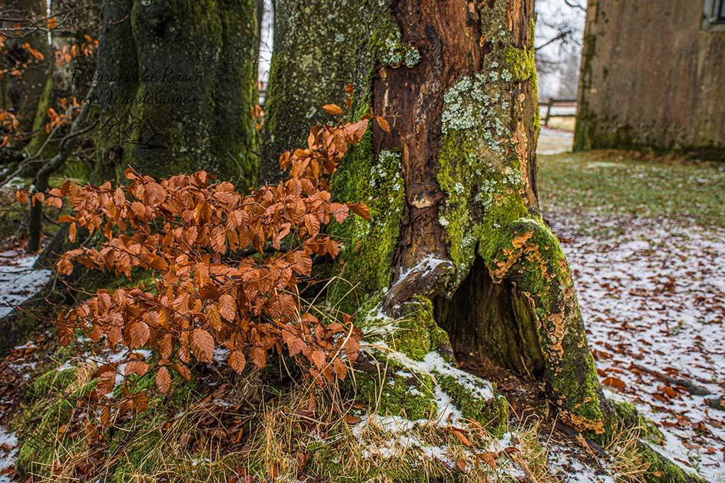 Baumstumpf mit Rotbuchenblätter - Poleur Venn