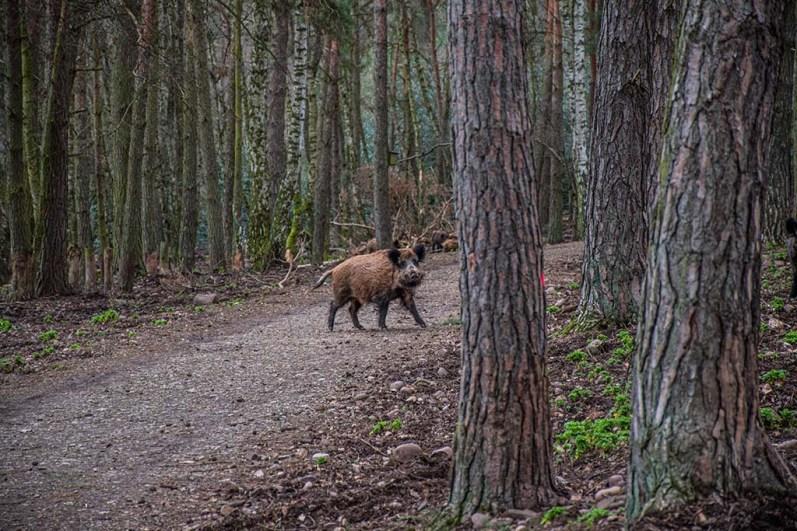Ein wenig unheimlich auf die freilaufenden Wildschweine zu treffen