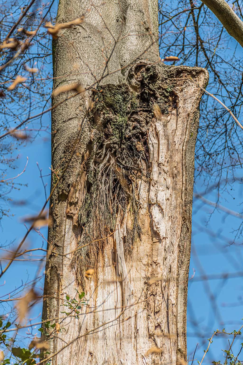 Luftwurzeln am Baum