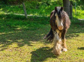 Zotteliges Pferd