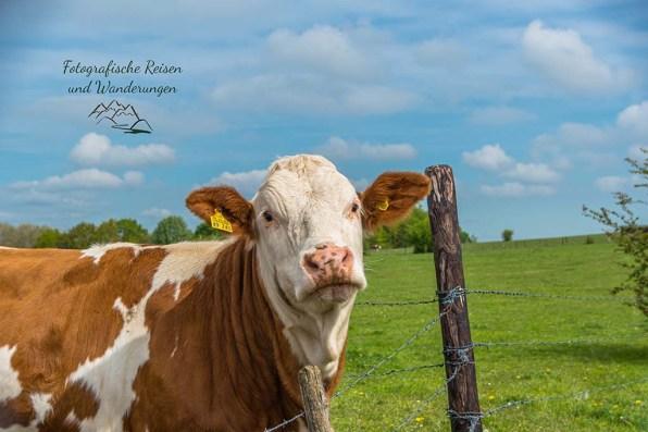 Gemütliche Kuh-EifelSpur Heideheimat