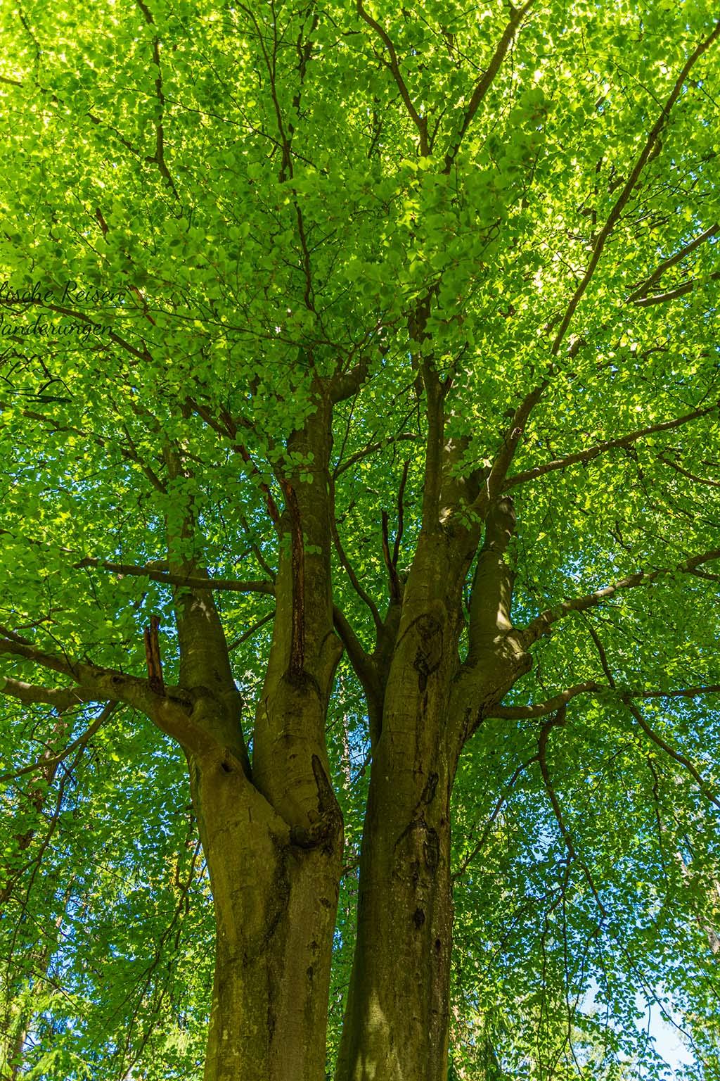 Hoher Baum im Frühjahrskleid