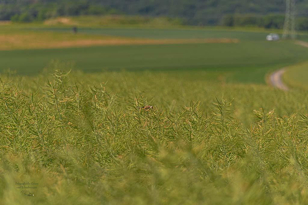 Stieglitz im Feld