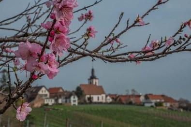 Mandelblüte + Blick auf Weyher