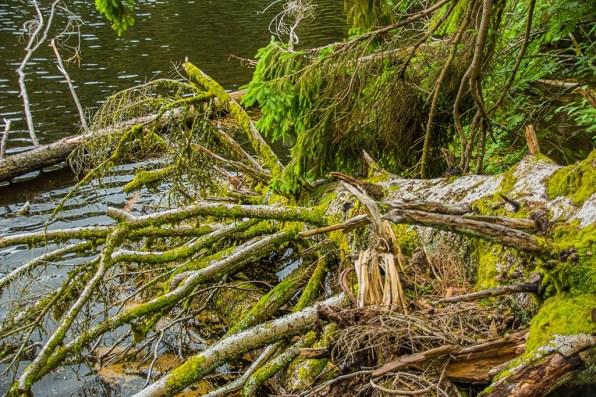 Überall Totholz am Glaswaldsee