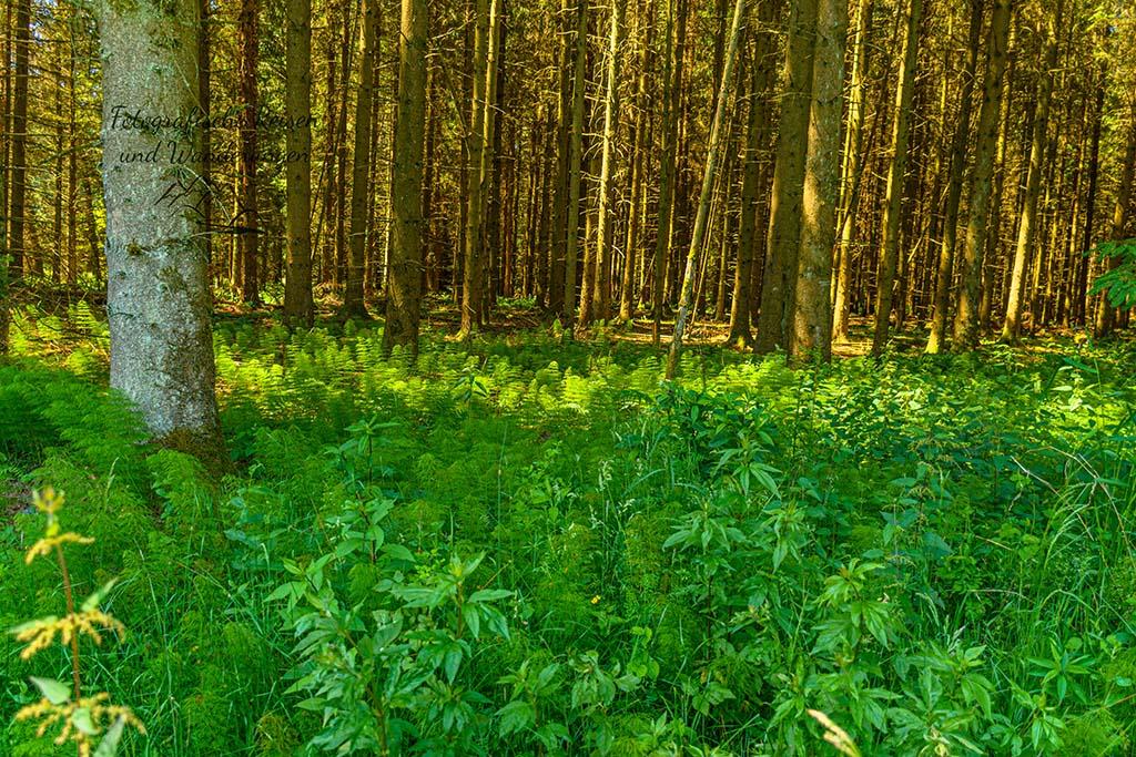 Wald Schachtelhalm