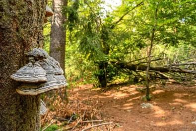 Pilze an totem Holz