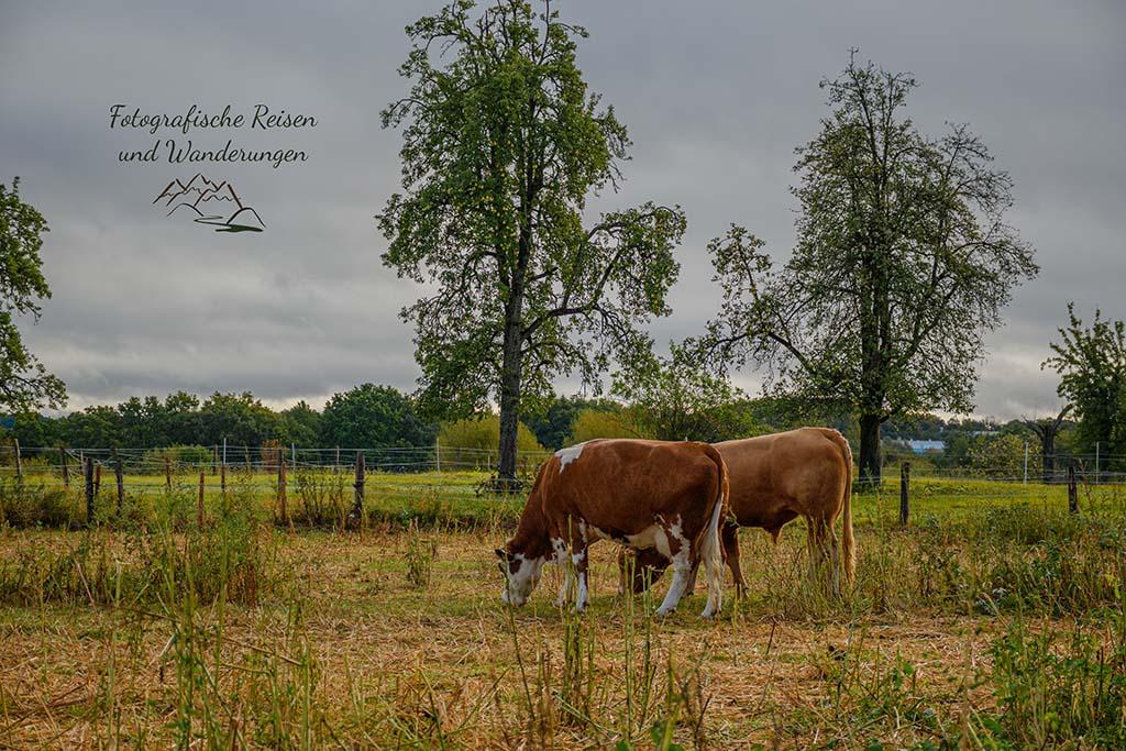 Kühe auf kargen Wiesen