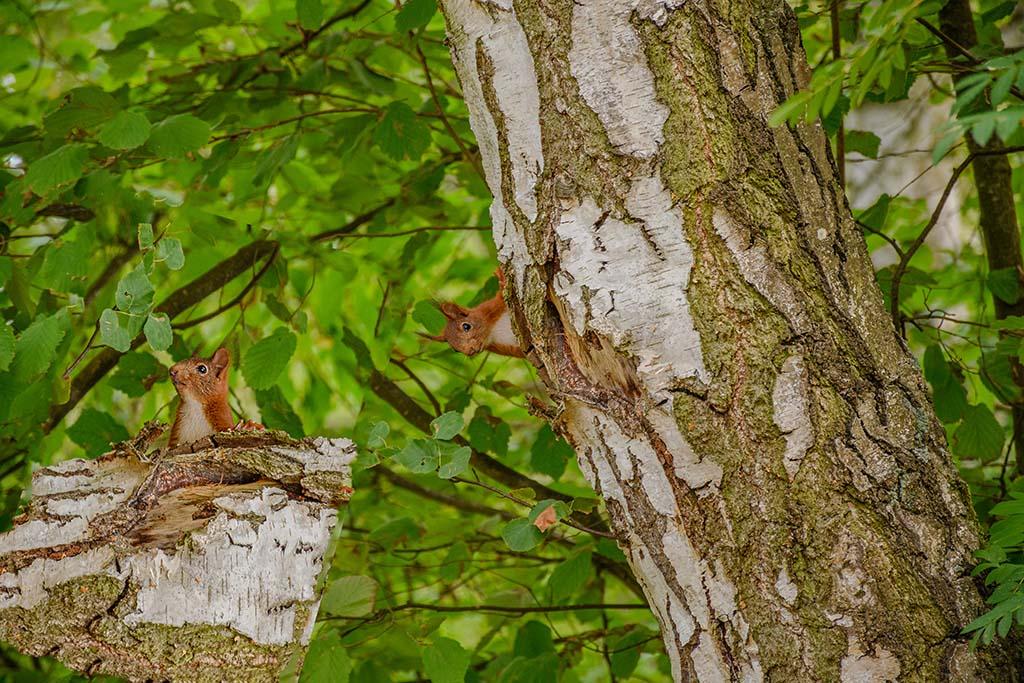 Lustiges Wesen- Das Eichhörnchen