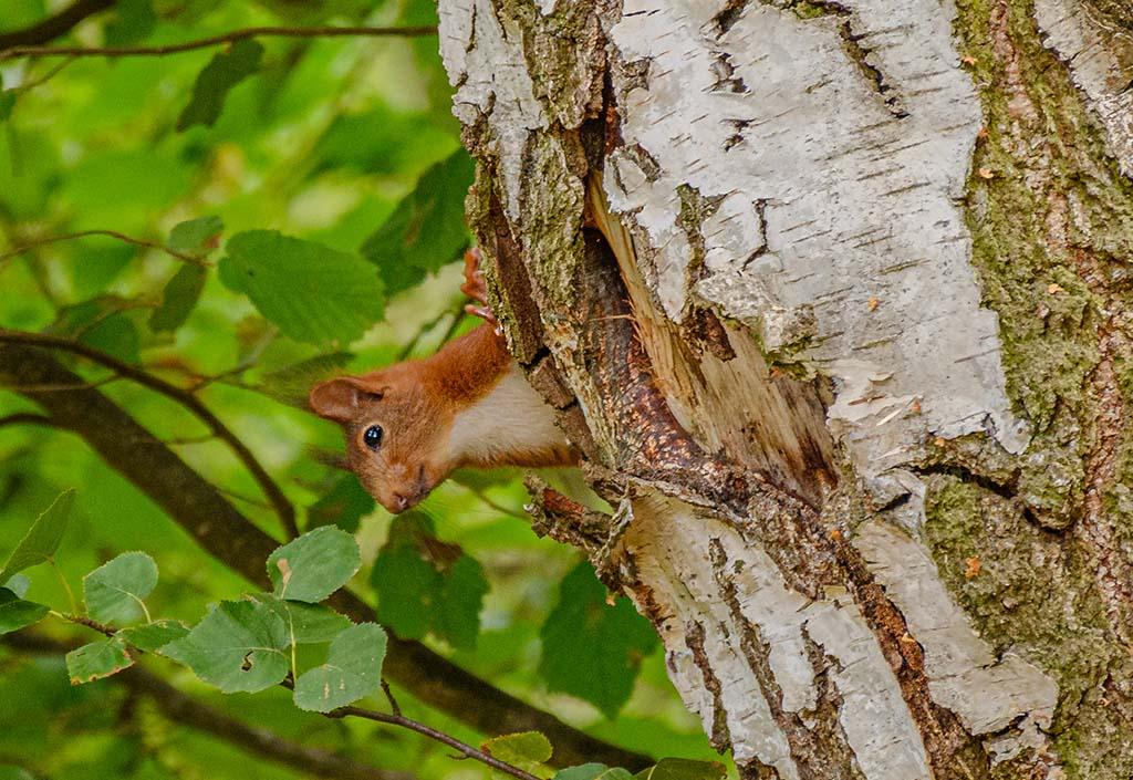 Eichhörnchen auf dem Streuobstwiesenweg