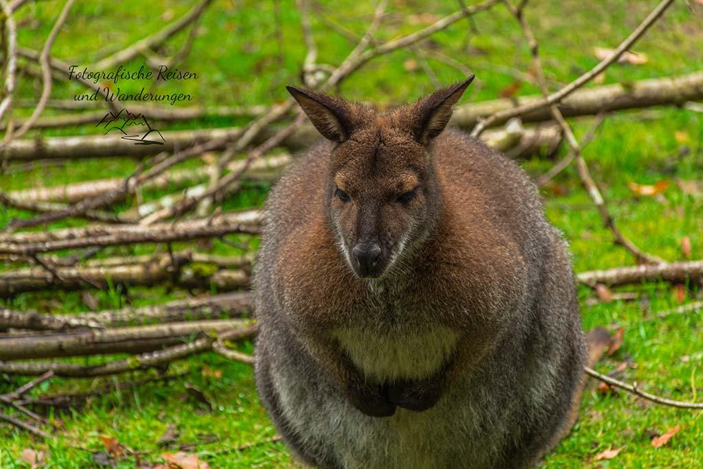 Das Eifel Kangaru