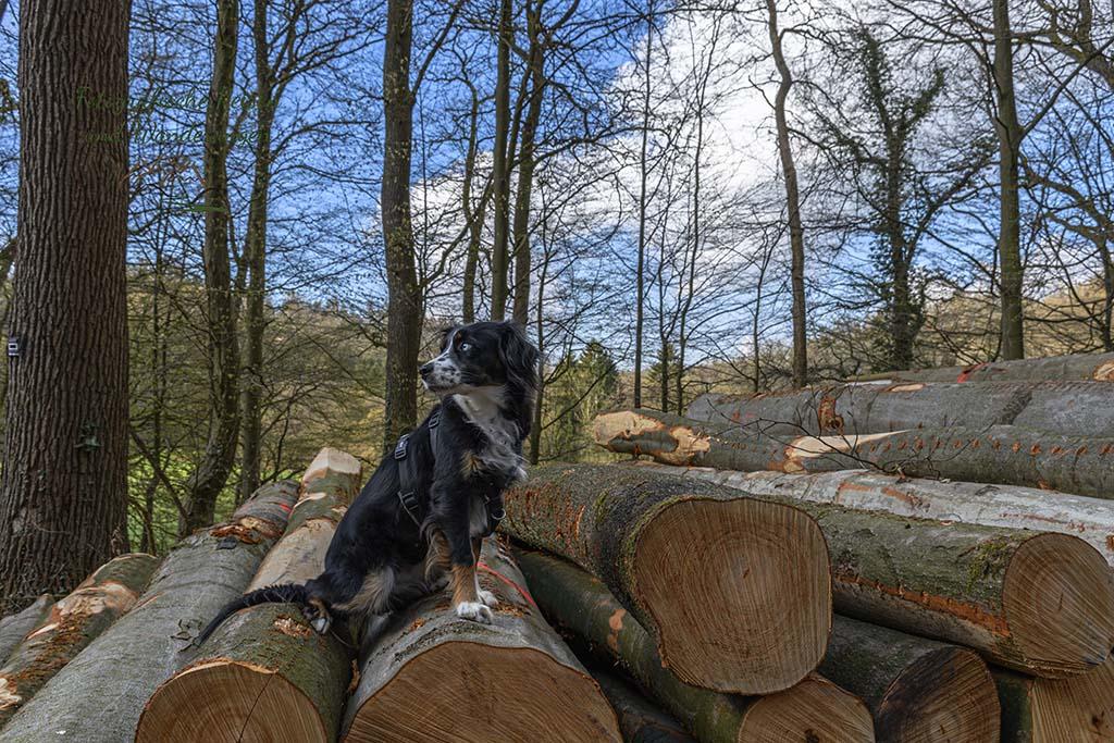 Hund auf Holzstapel