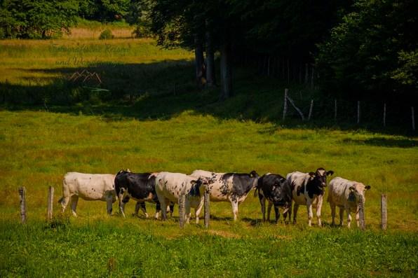 Nervöse Rinder auf Weide