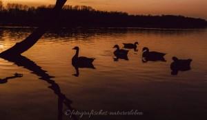 Enten im Gegenlicht