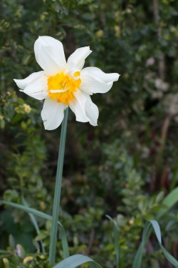 narcis-biely