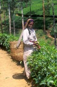 Sri Lanka, N'elya, cosecha del Té, retrato, trabajo