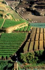 Sri Lanka, N'eliya, cultivos de arroz